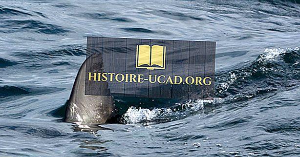 Tiesitkö - Mikä on Shark Finning?