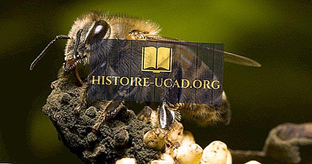 Was sind afrikanische Bienen?