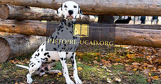 ทำไม Dalmatians ถูกใช้โดยสถานีดับเพลิง?