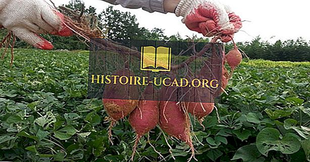 Svetovni voditelji pri proizvodnji sladkega krompirja