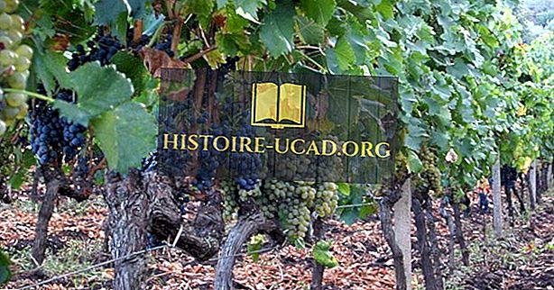 Gdje se uzgaja grožđe?