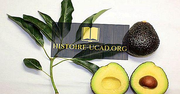 Najveći avokado koji proizvodi zemlje u svijetu
