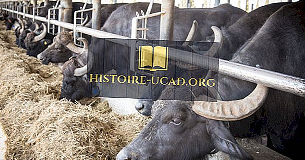 Les principaux pays producteurs de lait de bufflonne au monde