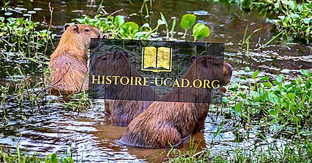 Kaip yra daug rūšių Capybaras?