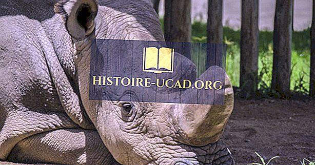 Ali je severni beli nosorog na robu izumrtja?