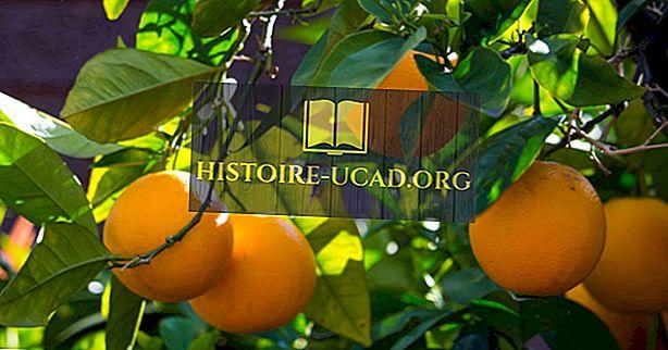 Hvad er en frugtsalat træ?