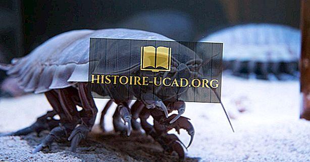 Giant Isopod Faktai - vandenynų gyvūnai