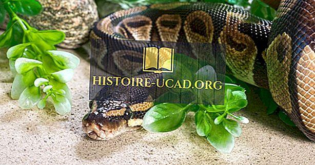 Faits sur le python birman: Animaux d'Asie