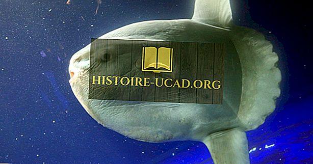 Ocean Sunfish Facts - Zwierzęta Oceanu