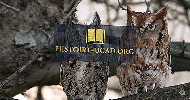 東部のスクリーチフクロウの事実:北米の動物たち