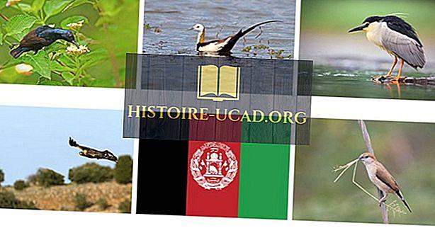 Burung Asli Afghanistan