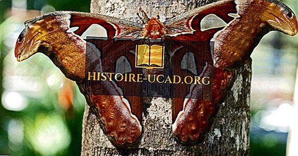Apa Perbedaan Antara Kupu-kupu dan Ngengat?