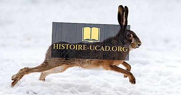 Jaký je rozdíl mezi králíkem a zajícem?