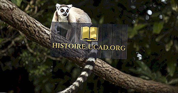 कहाँ रहते हैं Lemurs?