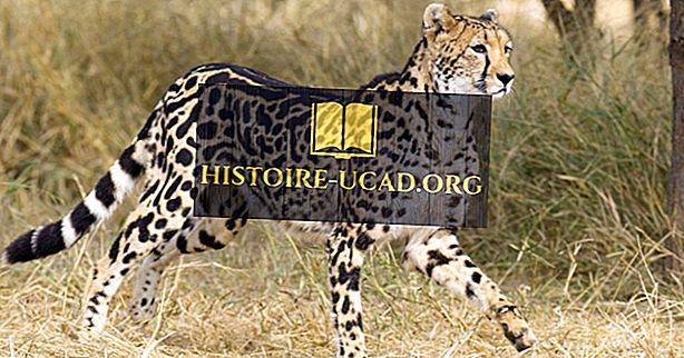 Wat is de koning Cheetah?