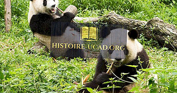 Que mangent les pandas géants?
