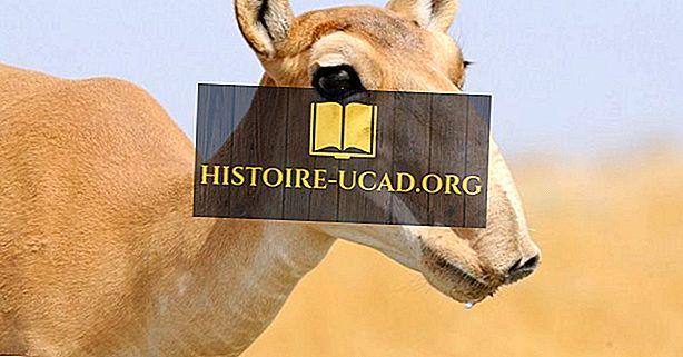 Mengapa Saiga Antelope akan punah?