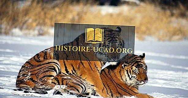 Οι αριθμοί άγριων τίγρεων αυξάνονται;