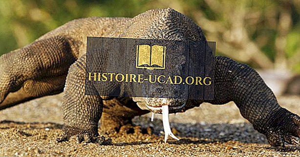 Câți dragoni Komodo sunt lăsați în lume?
