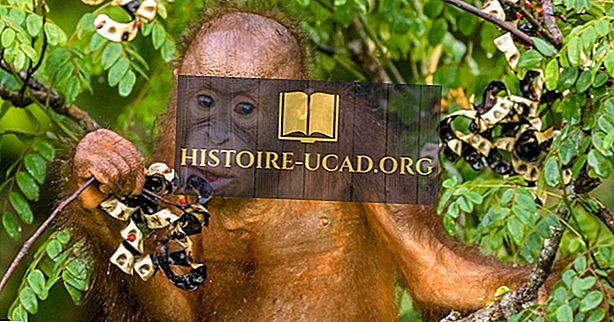 क्या Orangutans खाते हैं?