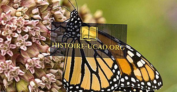 Monarkfjärilar: En nordamerikansk skatt i kris