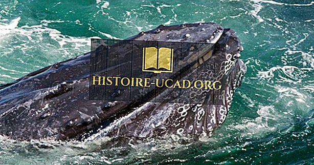 ماذا الحيتان الزرقاء تأكل؟