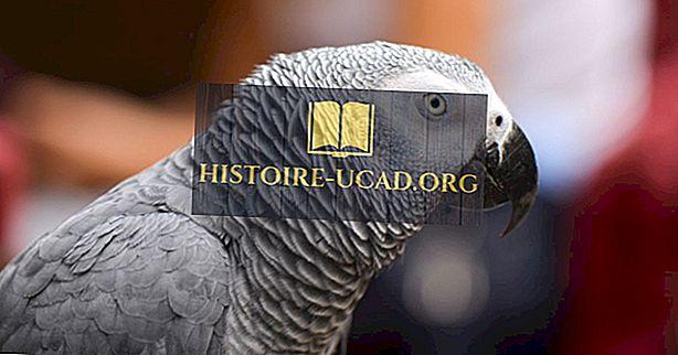 Proč jsou šedí papoušci mizející?