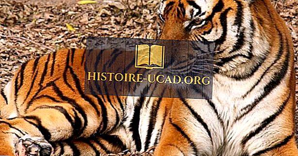 Visvairāk apdraudētie tīģeri pasaulē