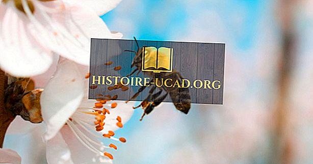 Kiek laiko gyvena bitės?