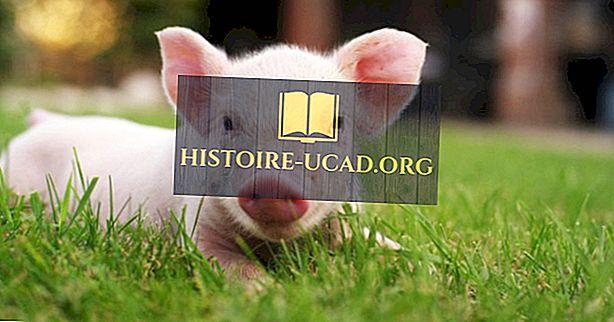 सूअर के बारे में 10 तथ्य