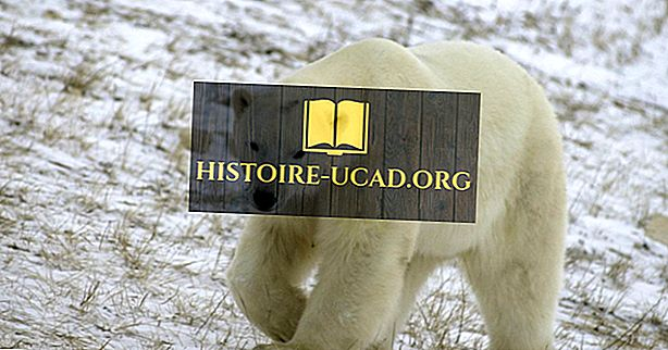 ध्रुवीय भालू तथ्य: उत्तरी अमेरिका के जानवर