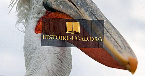 Dalmaatsia Pelikani faktid: Euraasia loomad