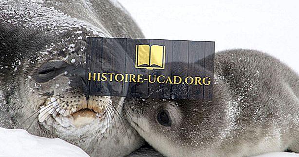 Weddell Seal Fakti: Antarktīda dzīvnieki
