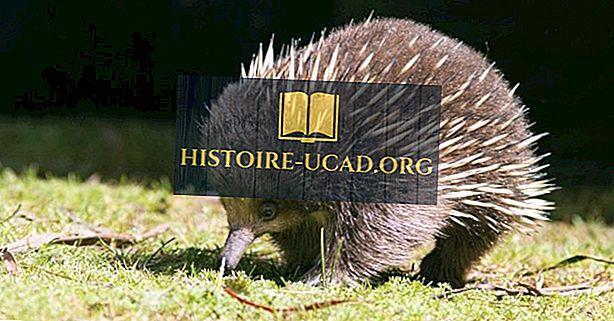 Īsas Beaked Echidnas - Austrālijas dzīvnieki