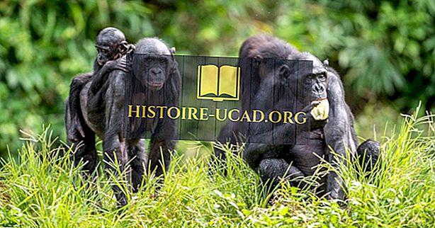 Bonobo činjenice - životinje Afrike