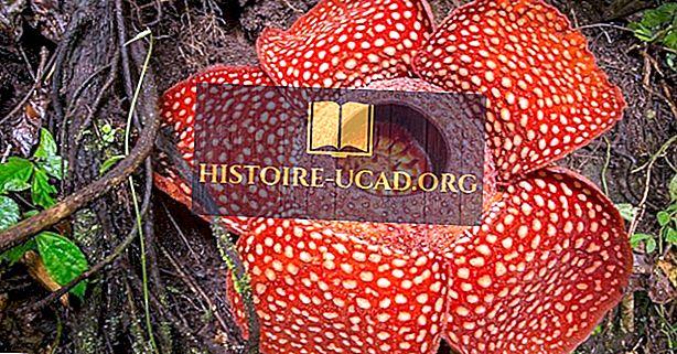 Rafflesia arnoldii - suurim lill Maal