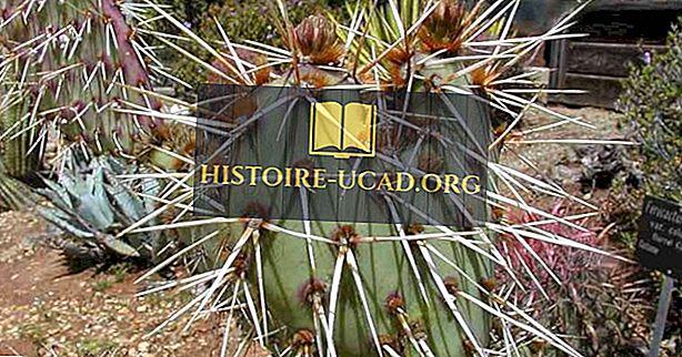 Kaktus, kõrbe flora