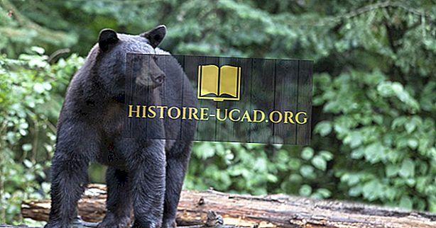 keskkonnale - Black Bear Faktid: Põhja-Ameerika loomad