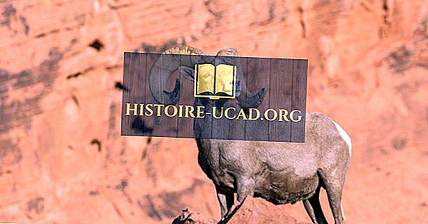 Sự kiện cừu Bighorn: Động vật Bắc Mỹ