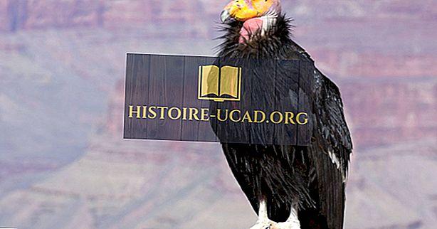 California Condor Gerçekleri: Kuzey Amerika'nın Hayvanlar