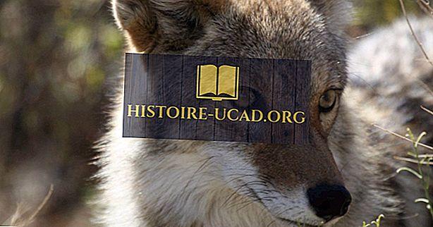 okolje - Dejstva o kojotih: Živali Severne Amerike