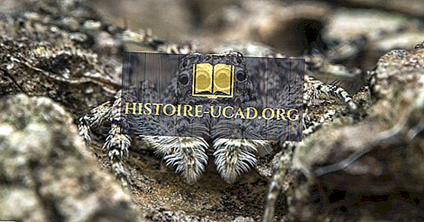 środowisko - Jumping Spider Facts - Zwierzęta Ameryki Północnej