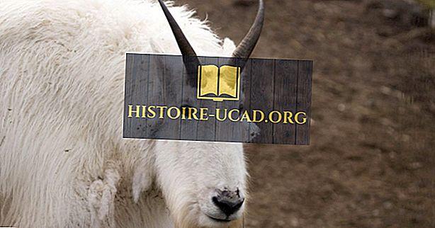 Mountain Goat Facts: Põhja-Ameerika loomad
