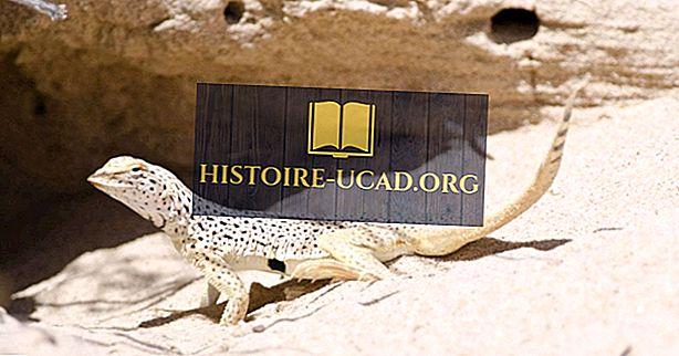 środowisko - Fringe-Toed Lizard Facts: Zwierzęta Ameryki Północnej