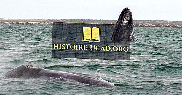 Gray Whale-feiten: dieren van Noord-Amerika