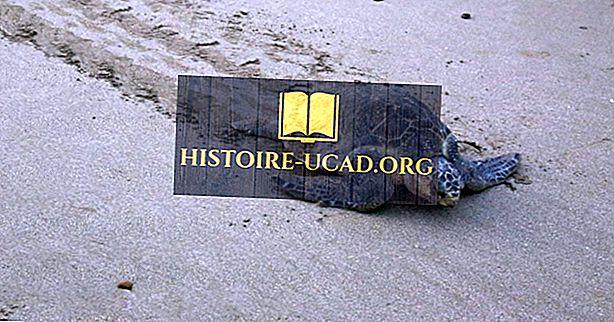 okolje - Olive Ridley Sea Turtle Facts: Živali Severne Amerike