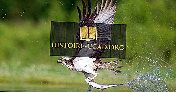 środowisko - Osprey Facts: Zwierzęta Ameryki Północnej
