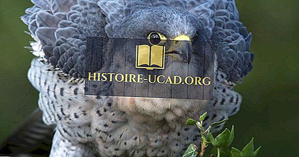 środowisko - Peregrine Falcon Facts: Zwierzęta Ameryki Północnej