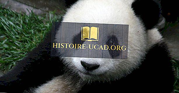 środowisko - Giant Panda Facts - Zwierzęta Azji