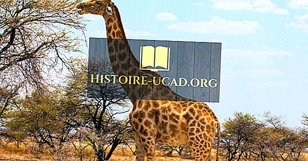 środowisko - Żyrafa Fakty - Zwierzęta Afryki